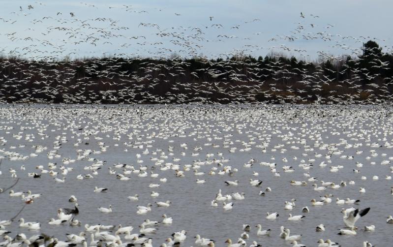 Oies des neiges 02-11-11