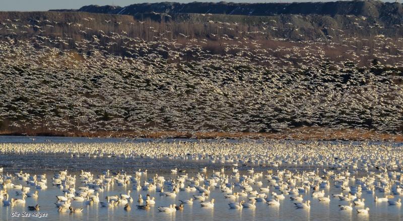 Oie des neiges 16-11-12