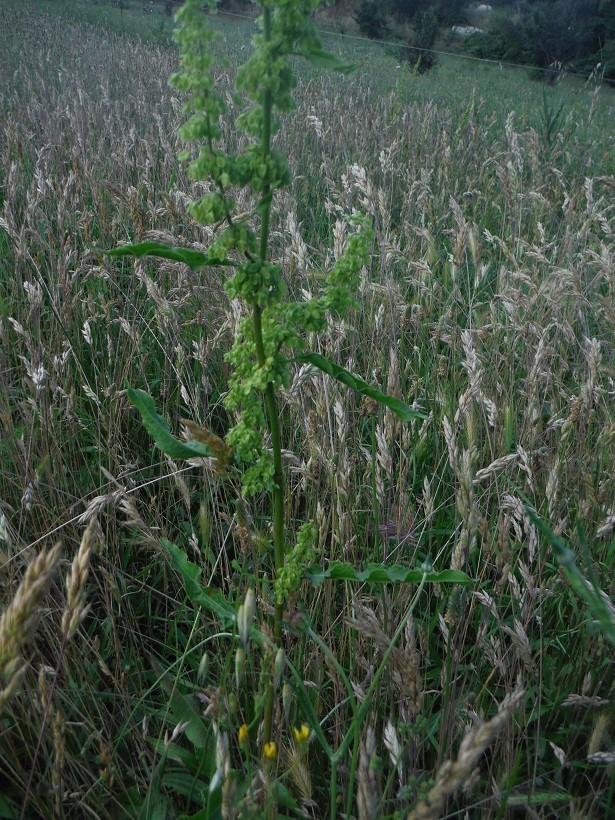 JdB de 4 hectares de pâtures dans le SUD : Avril 2019, et toujours la sécheresse... - Page 5 Rumex210