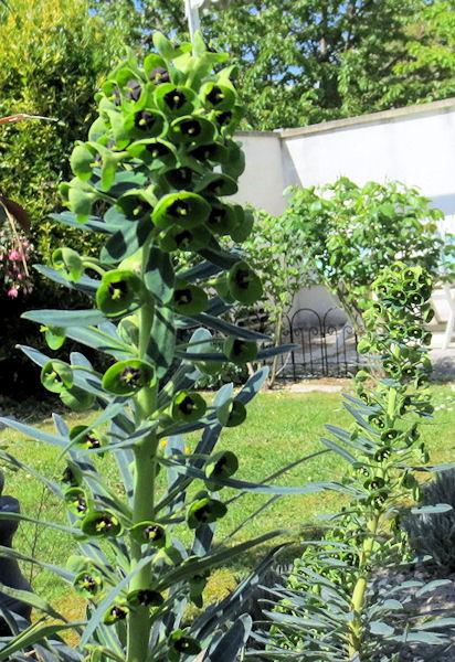 Euphorbe characias Img_0964
