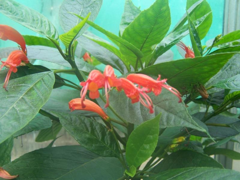 Une autre gesnériaceae inconnue ... [Gesneria ventricosa] Gesner10
