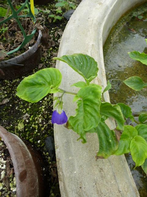 Rhynchoglossum gardneri  P1040911