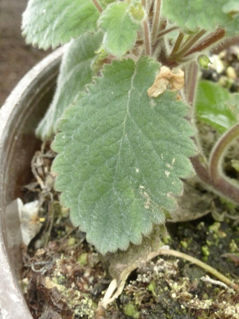 Phinaea ecuadorana P1050014