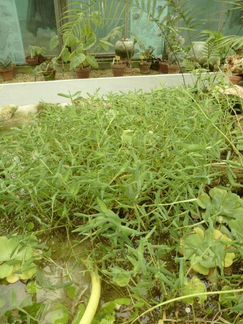 Connaissez vous cette plte aquatique ???Hygrorhiza aristata, une poacée flottante P1050116