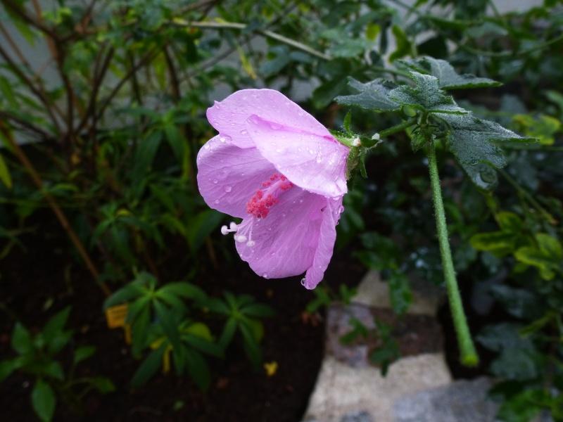 HIBISCUS pedunculatus  P1050213