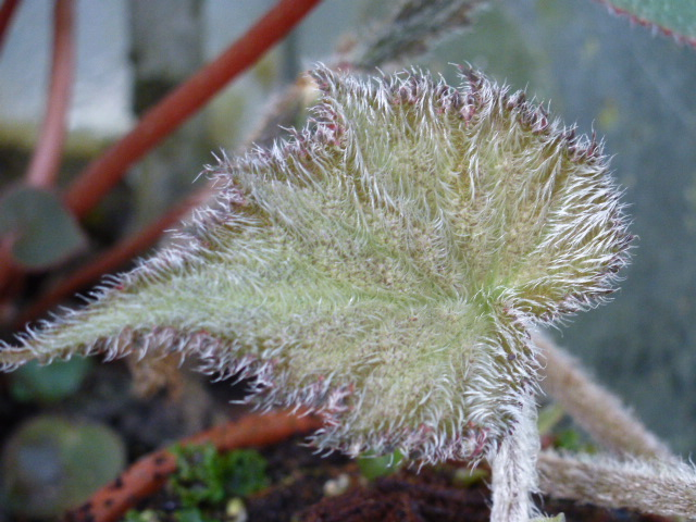 Bégonia variegata  P1050230