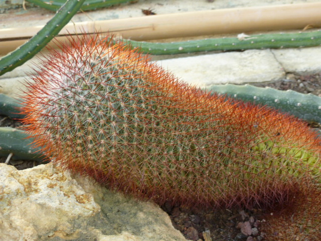 MAMMILARIA rhodantha  P1050520
