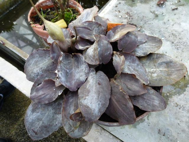 LAGENANDRA meeboldii ( F. des Araceae ) P1050521