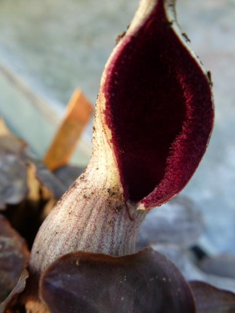 LAGENANDRA meeboldii ( F. des Araceae ) P1050524