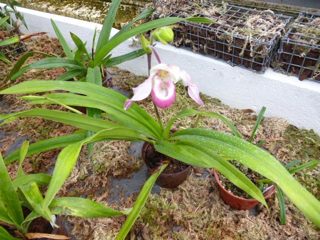 Phragmipedium x lemoinierianum P1050718
