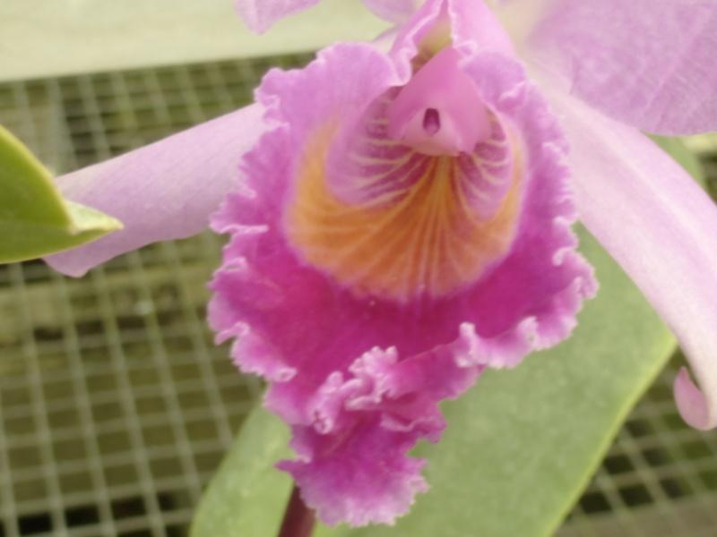Cattleya trianae Obscura  P1050926