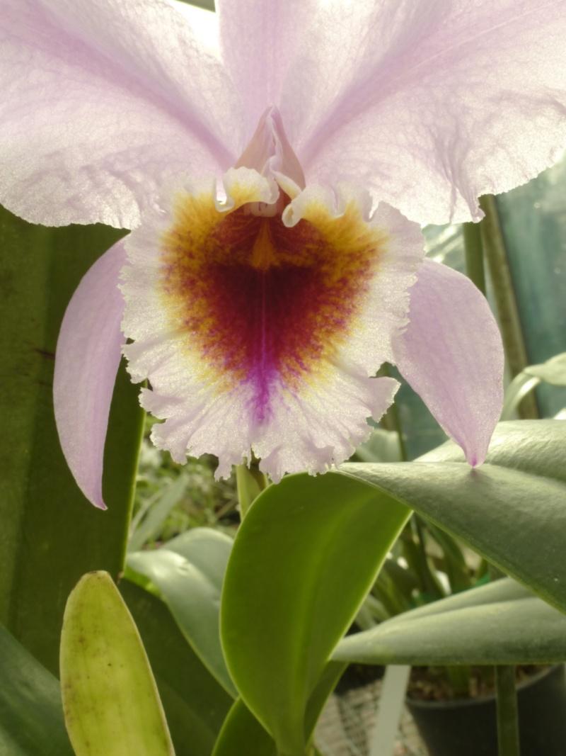 Cattleya percivaliana  P1050928