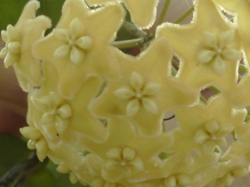 Quelques hoyas en fleurs avant mon départ en congé maladie  - Page 2 P1060217