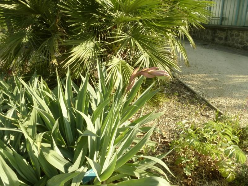 Quelques floraisons du jardin des  serres d'Auteuil  P1060514