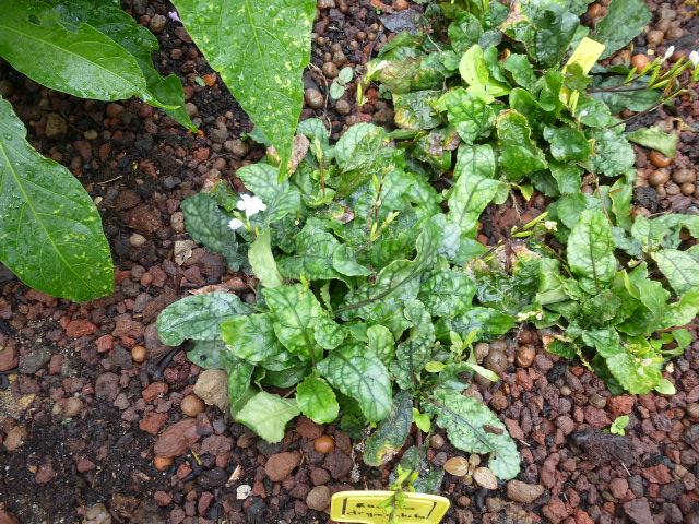 4 jolies Acanthaceae  P1060618