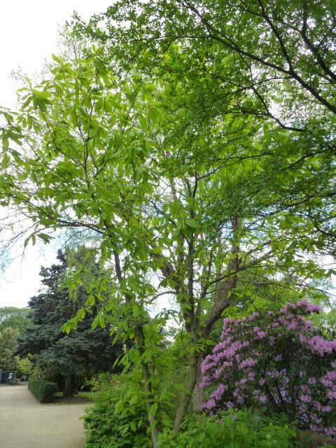 MAGNOLIA tripetala ( n.v. : magnolia parasol ) P1060623