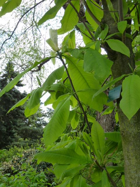 MAGNOLIA tripetala ( n.v. : magnolia parasol ) P1060624