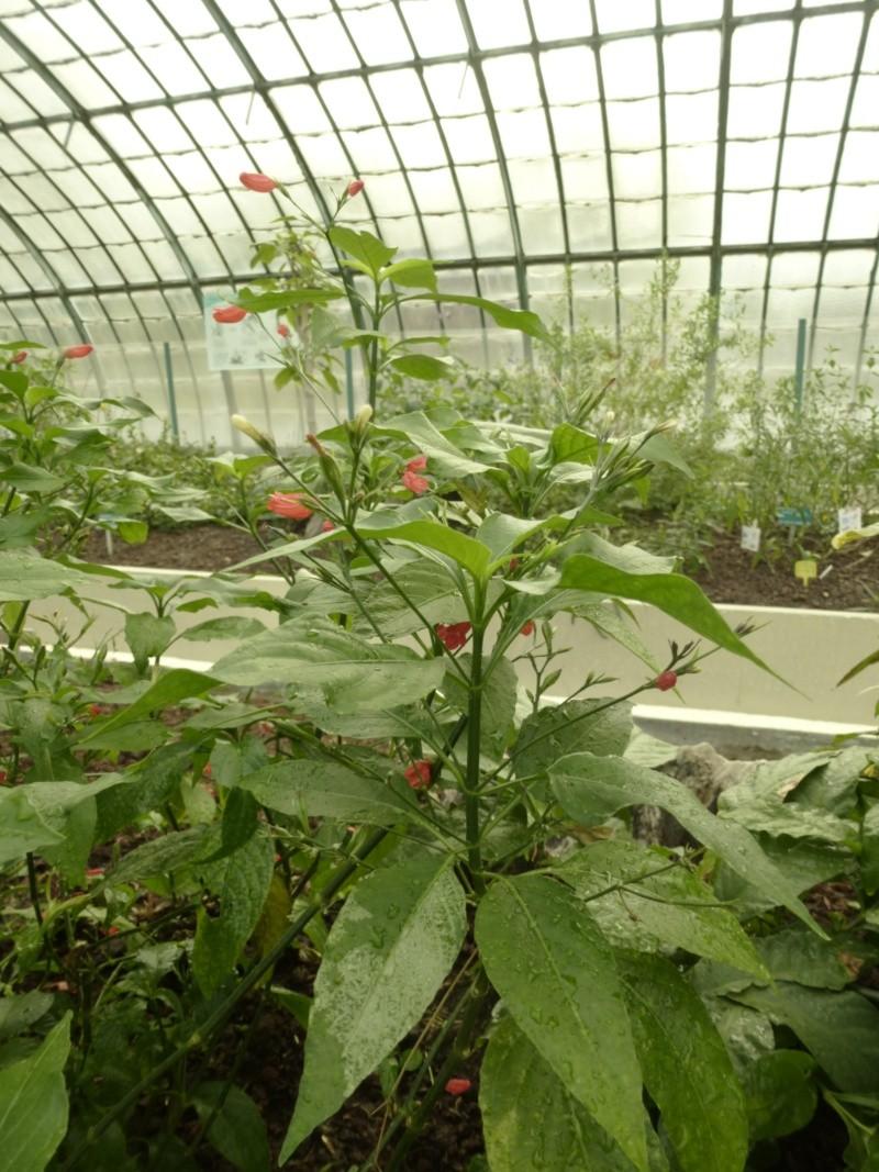 4 jolies Acanthaceae  P1060710