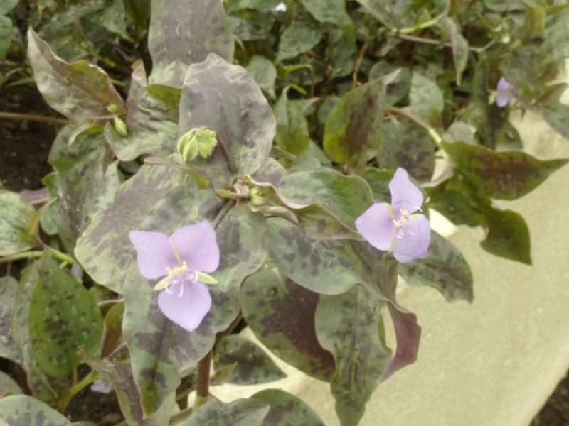 TINANTIA pringlei ( F. des Commelinaceae ) + simplement une misère  P1060712