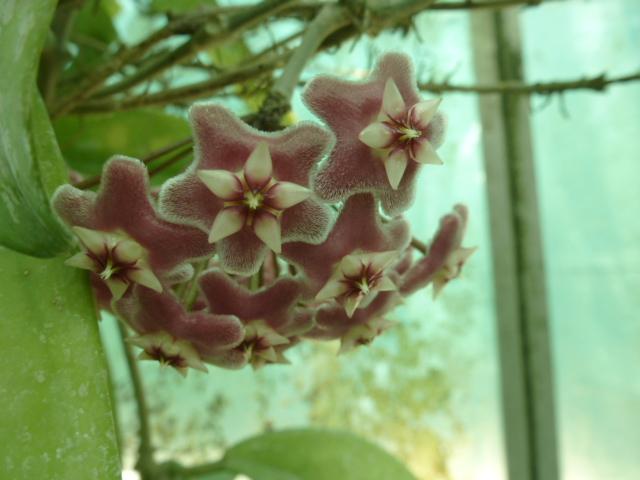 Hoyas en fleurs  P1060816