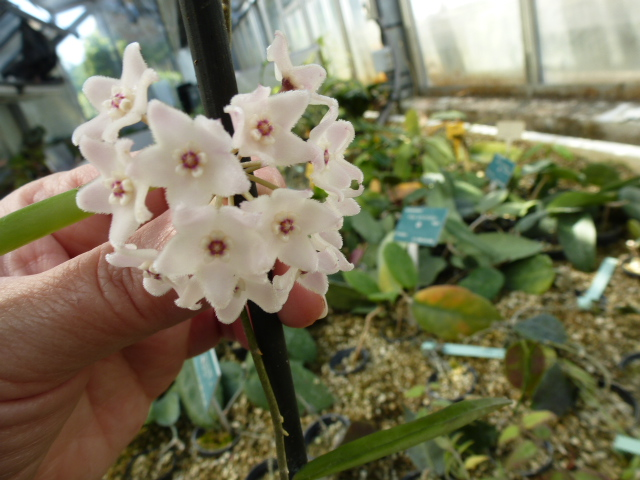 Hoyas en fleurs  P1060910