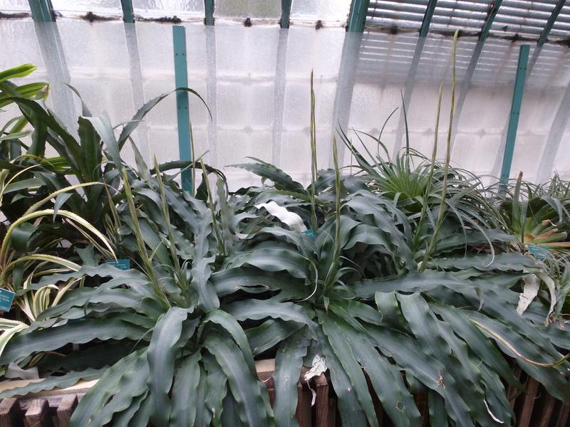 Fosterella penduliflora P1230413