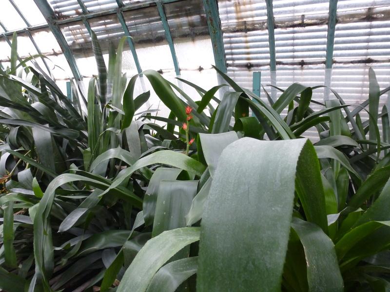 Hohenbergia stellata  P1230416