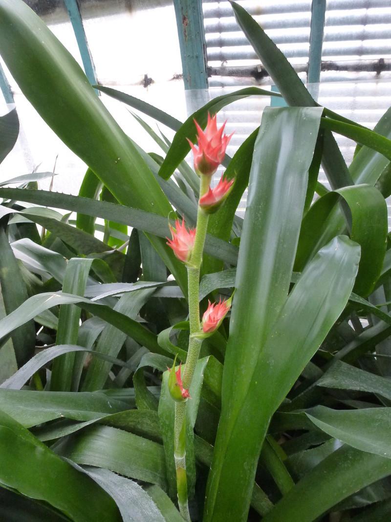 Hohenbergia stellata  P1230417