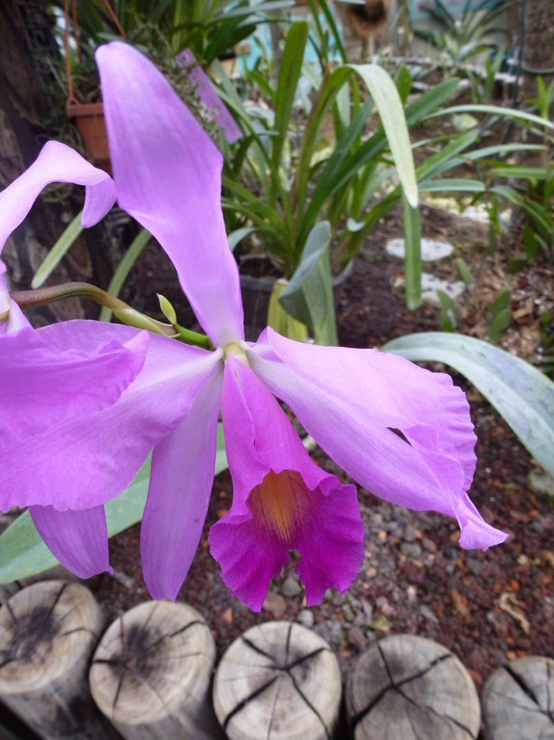 Brassocattleya  x Pujetii P1230423