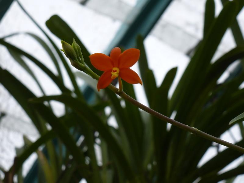 Prosthechea  ex Encyclia vitellina  P1230425