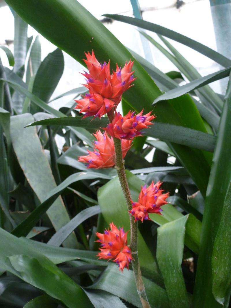 Hohenbergia stellata  P1230911