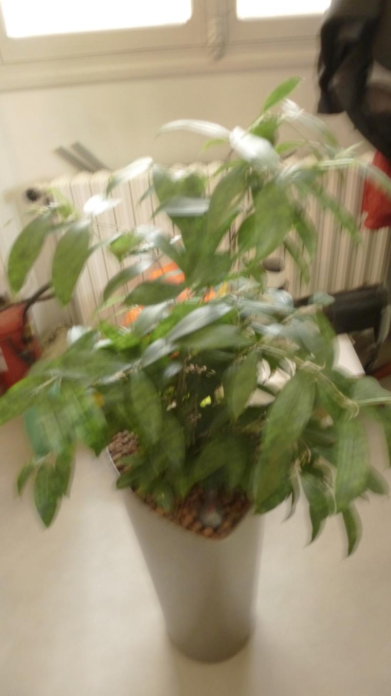 Besoin de votre aide : Dracaena surculosa  P1240211