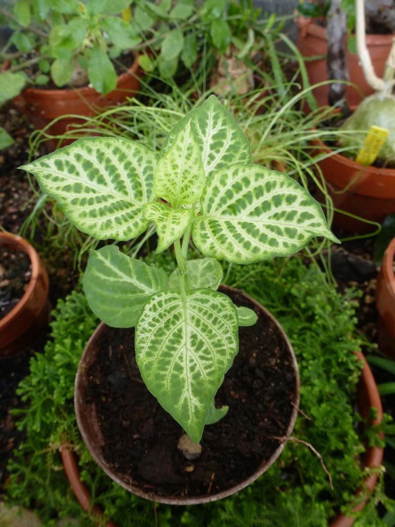 Plante  des Antilles  sans nom non plus  P1240323