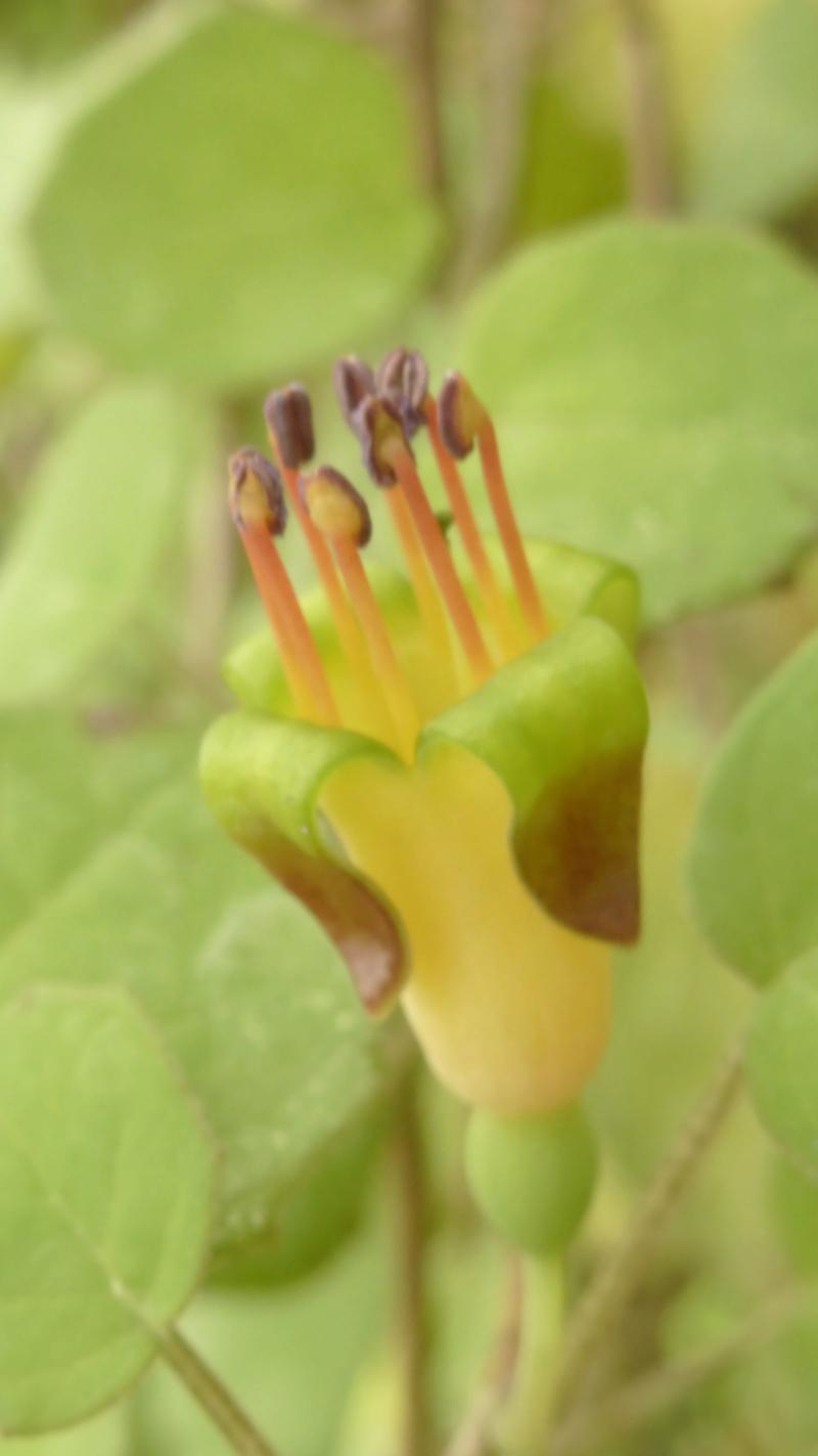 Fuschia procumbens  P1240744