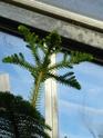 J'ai une nouvelle plante. Araucaria  - Page 2 P1050325