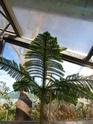 J'ai une nouvelle plante. Araucaria  - Page 2 P1050326