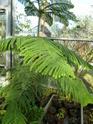 J'ai une nouvelle plante. Araucaria  - Page 2 P1050327