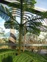 J'ai une nouvelle plante. Araucaria  - Page 2 P1050328