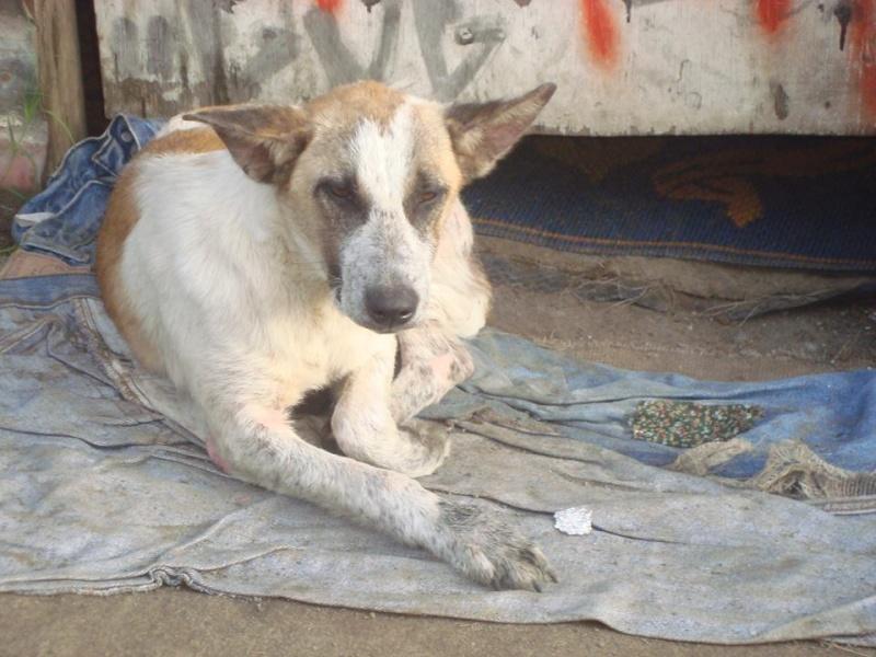 Abana croisée chien rouge  10044410