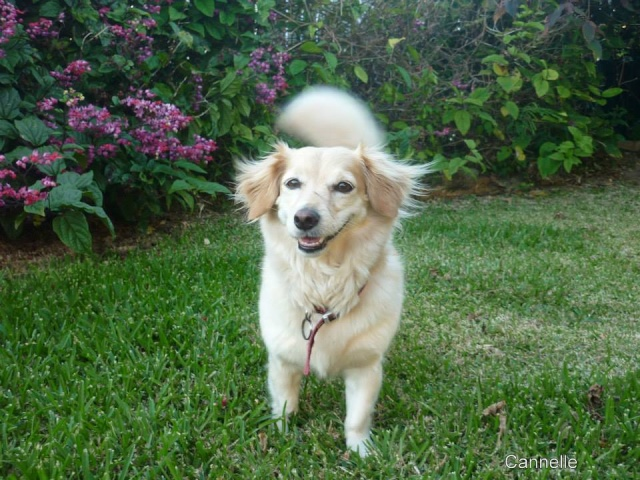 Cannelle chienne loulou 6/7ans 14599710