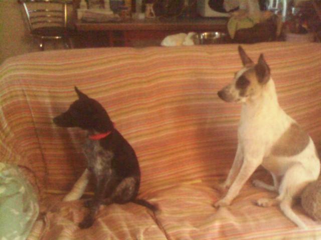 Abana croisée chien rouge  Img_2011