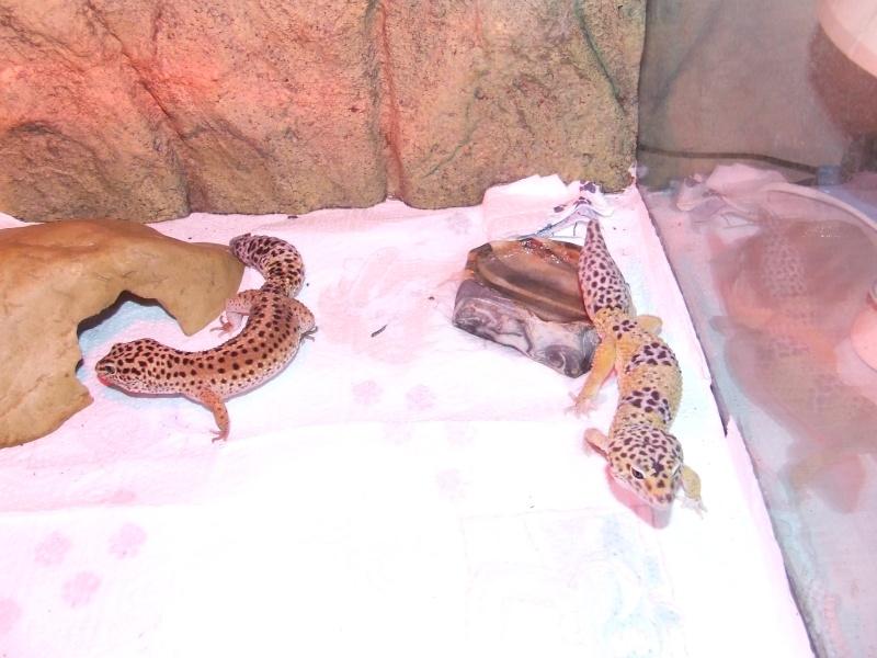 Gecko de scorpium59 Dscf3413