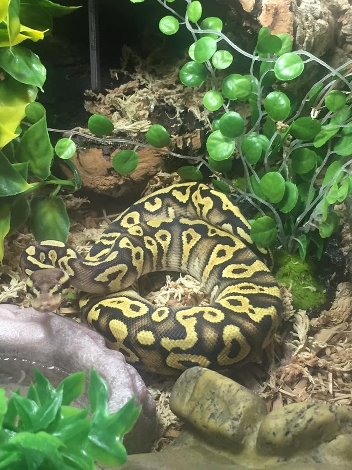 Python regius, pastel mojave 17883710
