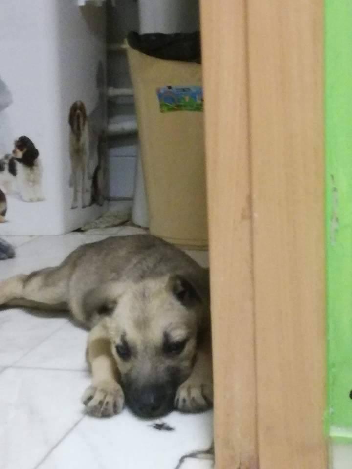 LENA - femelle croisée de taille moyenne, née en mars 2017 - CHEZ LUIZA (BUCAREST) 18471310