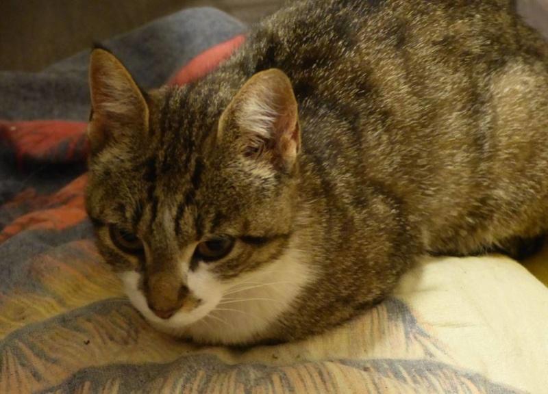 CLOCHETTE - chat femelle née septembre 2015, très gentille et calme - en FA chez Christine (83) 19024811