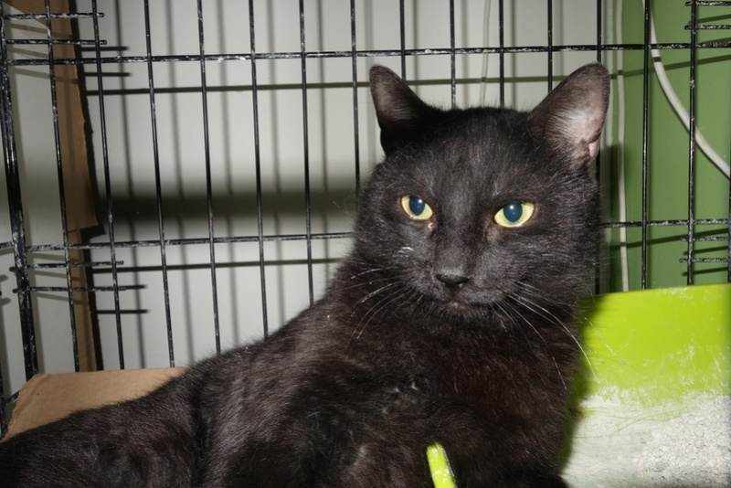 BENJY - chat mâle, né début 2016 - CARMINA BUCAREST. Réservé adoption via une autre asso Benji10