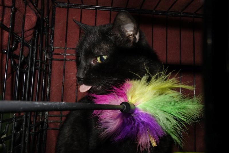 BENJY - chat mâle, né début 2016 - CARMINA BUCAREST. Réservé adoption via une autre asso Benji_10