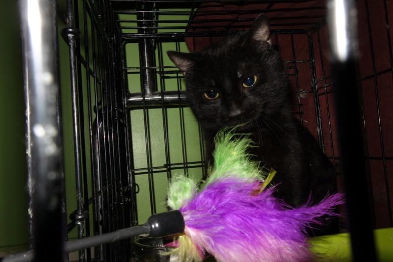 BENJY - chat mâle, né début 2016 - CARMINA BUCAREST. Réservé adoption via une autre asso Benji_13