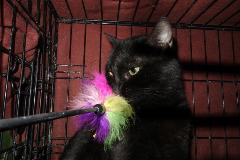 BENJY - chat mâle, né début 2016 - CARMINA BUCAREST. Réservé adoption via une autre asso Benji_14
