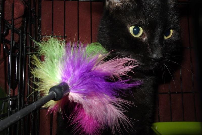 BENJY - chat mâle, né début 2016 - CARMINA BUCAREST. Réservé adoption via une autre asso Benji_15